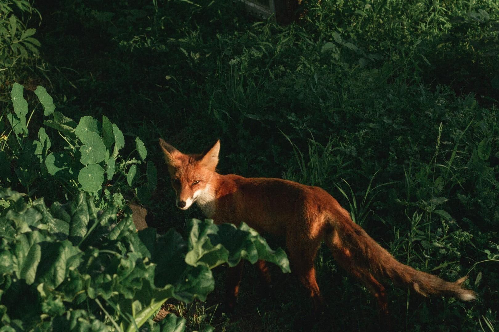 Animal detection - fox