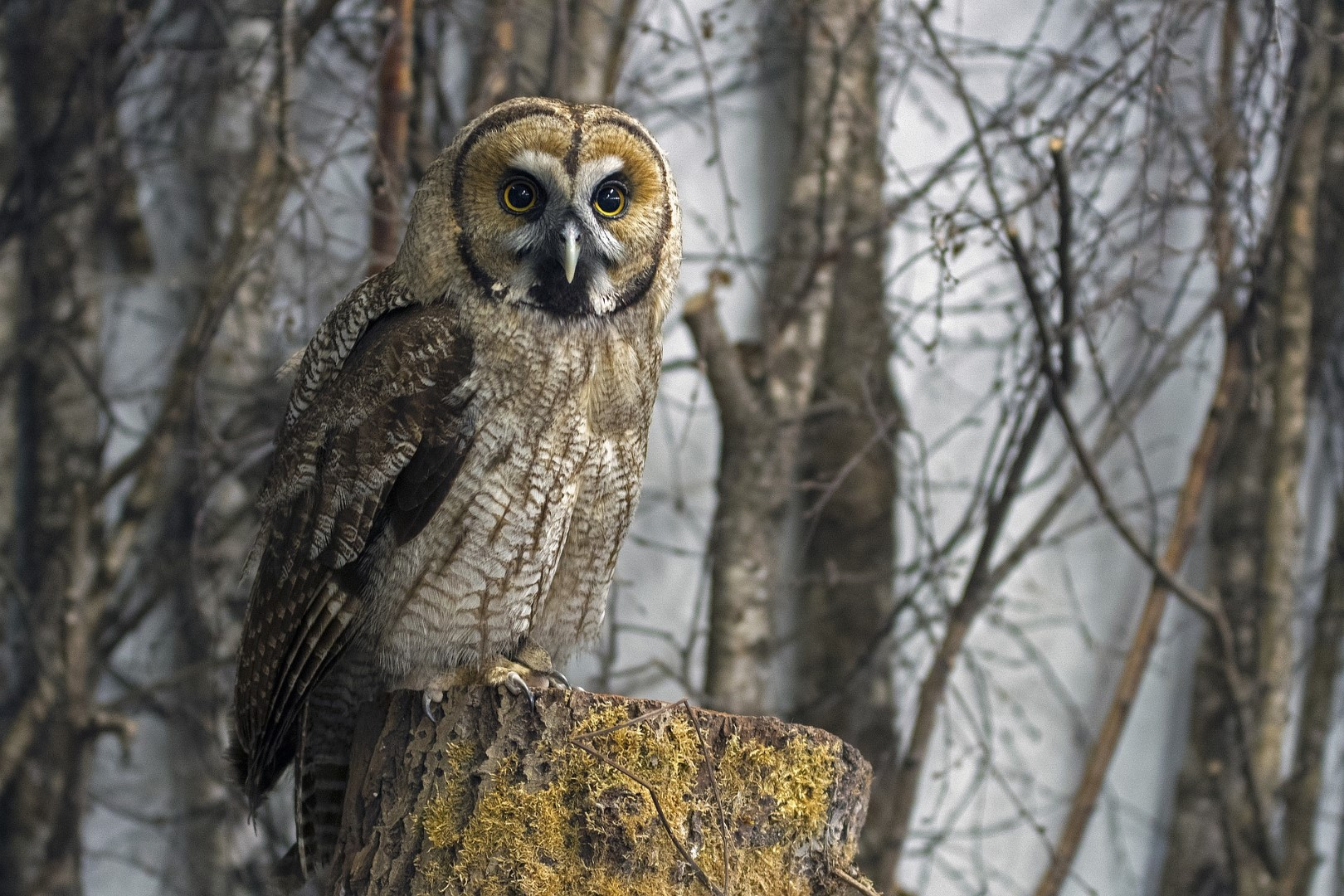 Animal detection - great grey owl