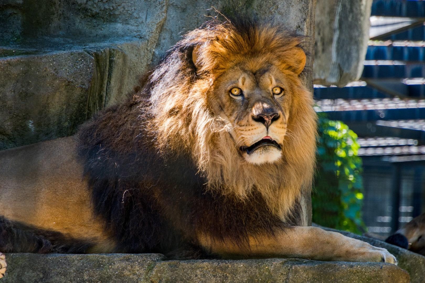Animal detection - lion